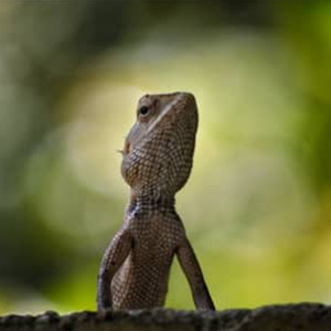 Instagram-lizard